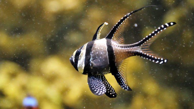 BANGGAI CARDINAL FISH | Pterapogon kauderni