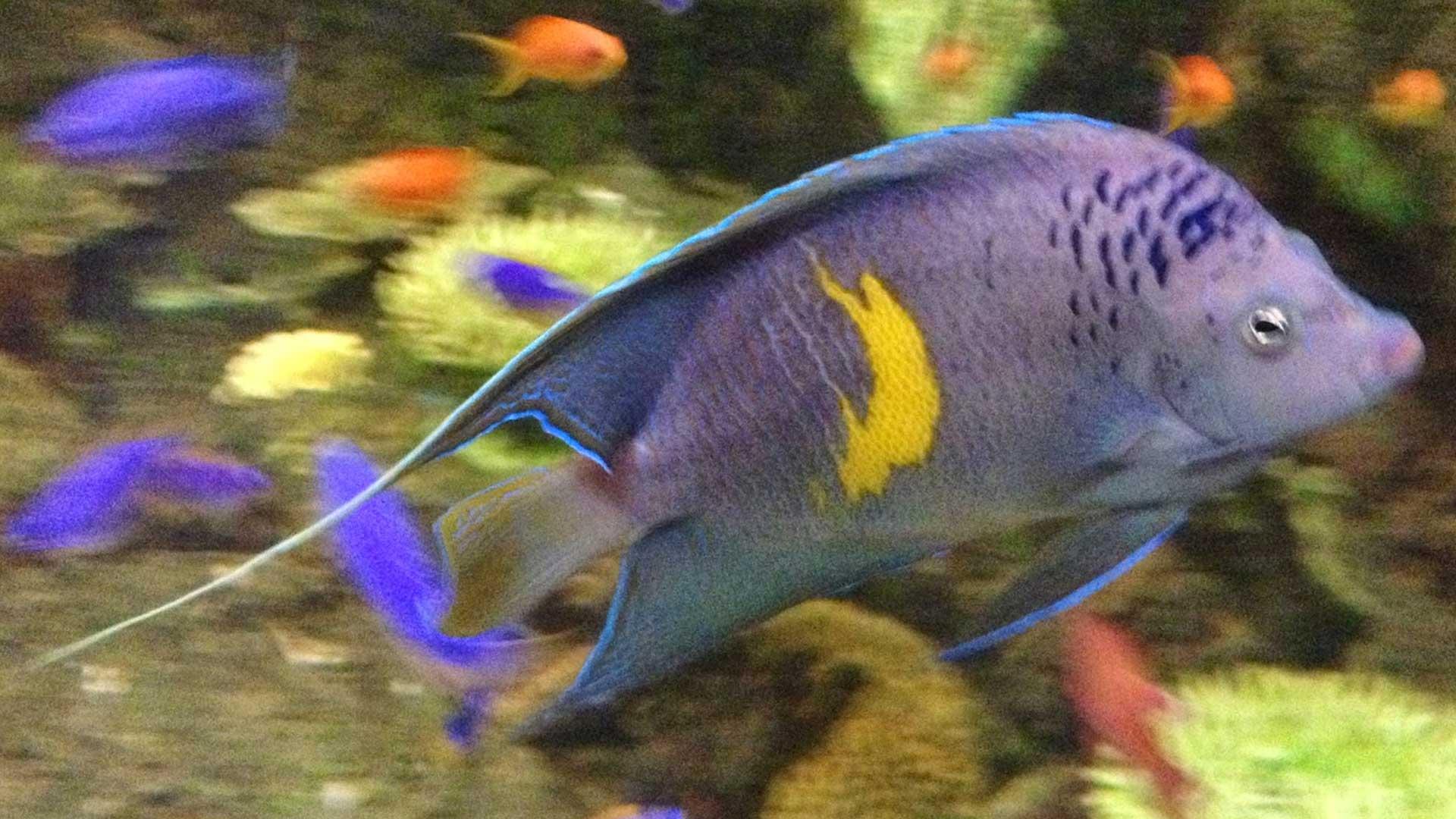Figure 1.  Angelfish (2-3 years old) on display at Columbus Zoo and Aquarium. Photo credit: Ramon Villaverde.
