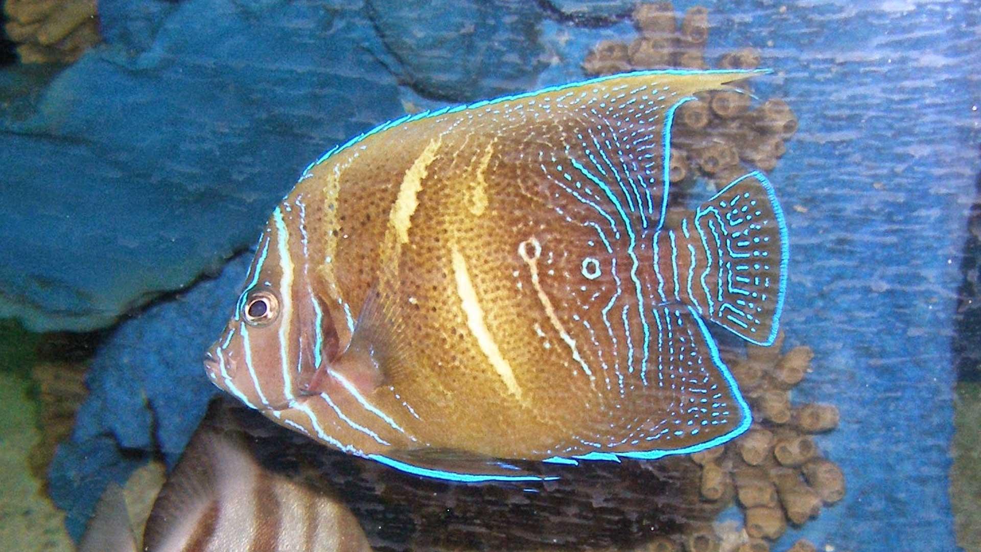 Figure 4.  Angelfish (~2 years old) on display at SeaWorld San Antonio. Figure 4 and 5 are the same fish.  Photo credit: Nick Ireland.