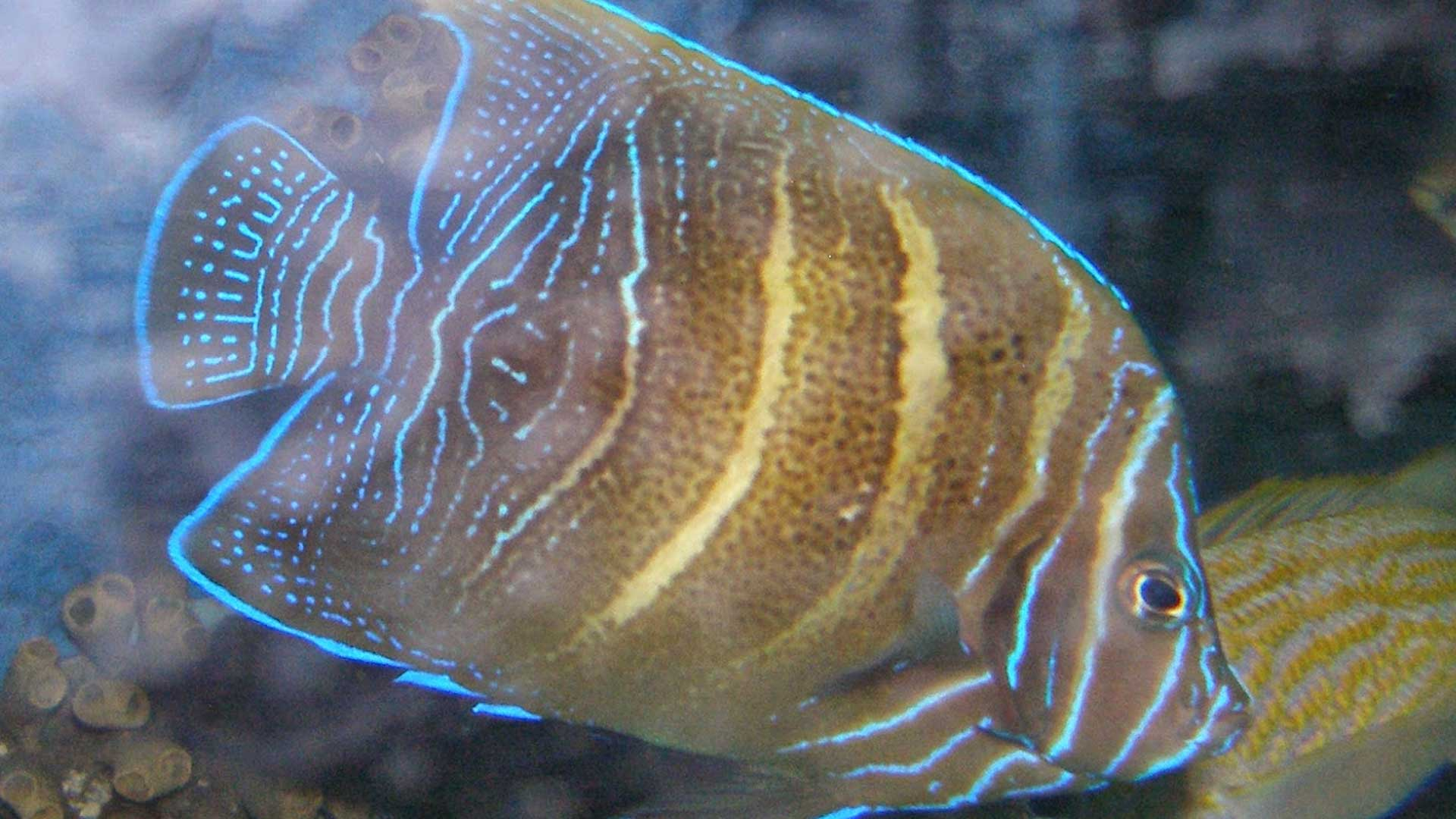 Figure 5.  Angelfish (~2 years old) on display at SeaWorld San Antonio. Figure 4 and 5 are the same fish.  Photo credit: Nick Ireland.