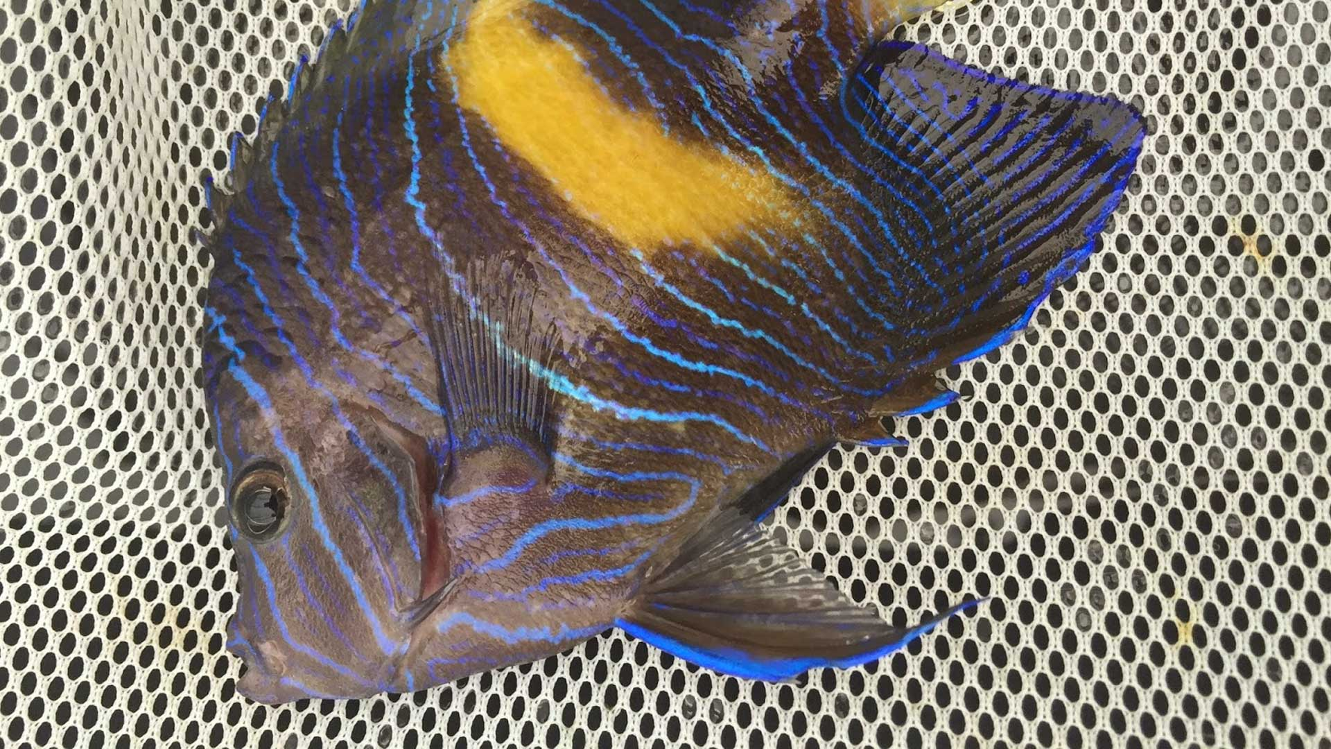 Figure 6.  Angelfish (~1.5 years old) kept at UF's Tropical Aquaculture Lab. Photo credit: Kevin Barden.