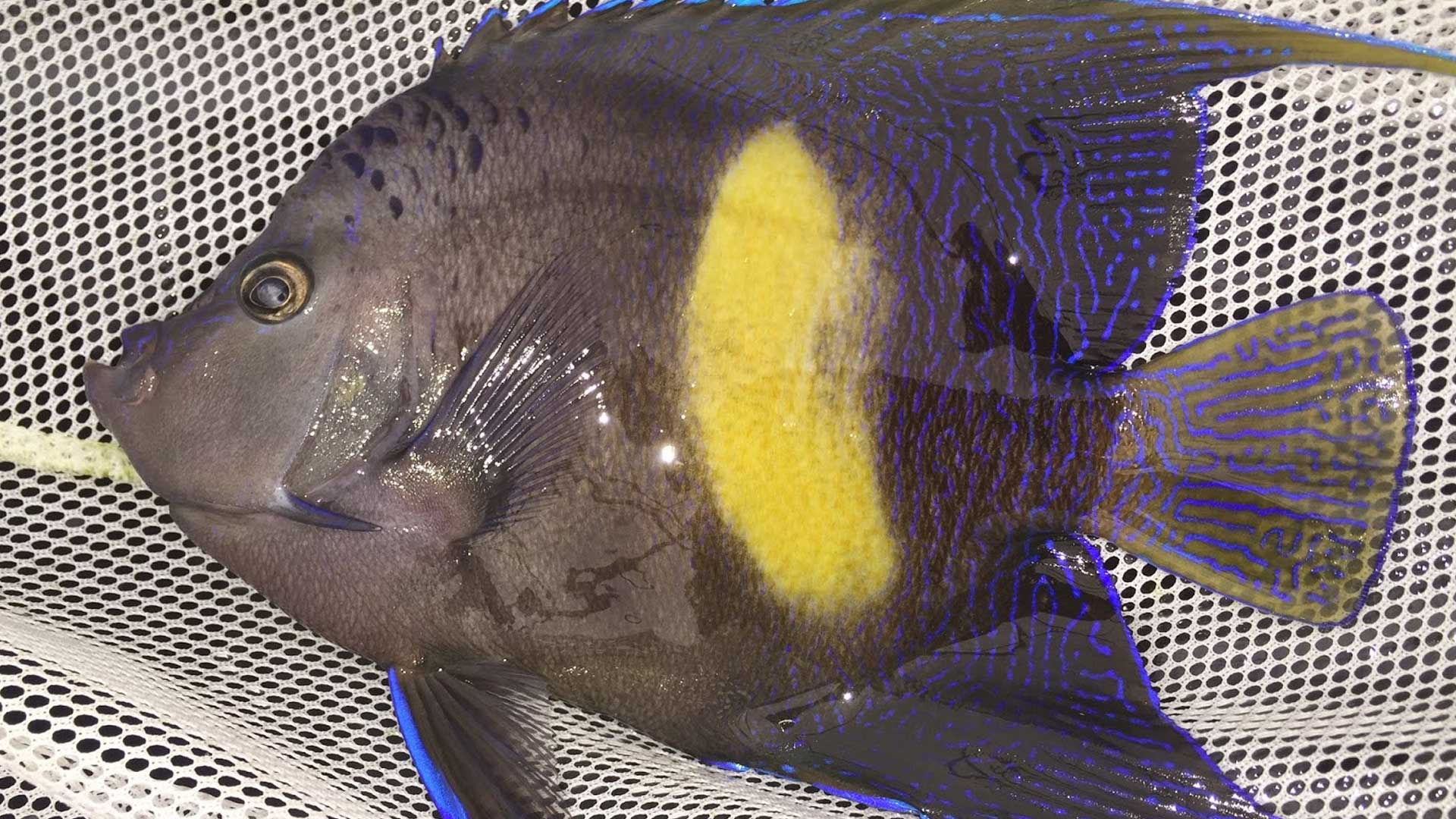 Figure 7.  Angelfish (~3 years old) kept at UF's Tropical Aquaculture Lab. Photo credit: Kevin Barden.