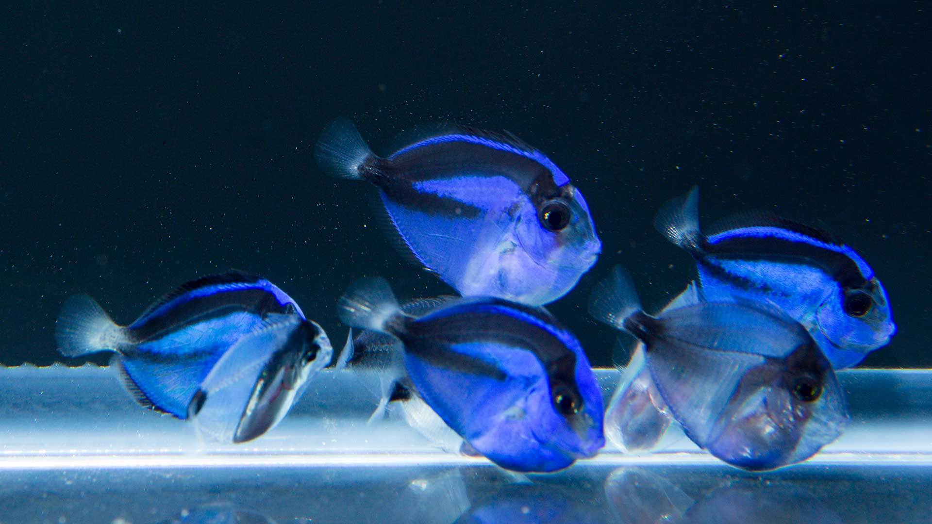 Successful aquaculture of the pacific blue tang for Blue tang fish facts