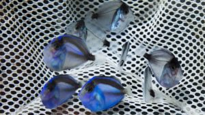 Successful Aquaculture of the Pacific Blue Tang, Paracanthurus hepatus