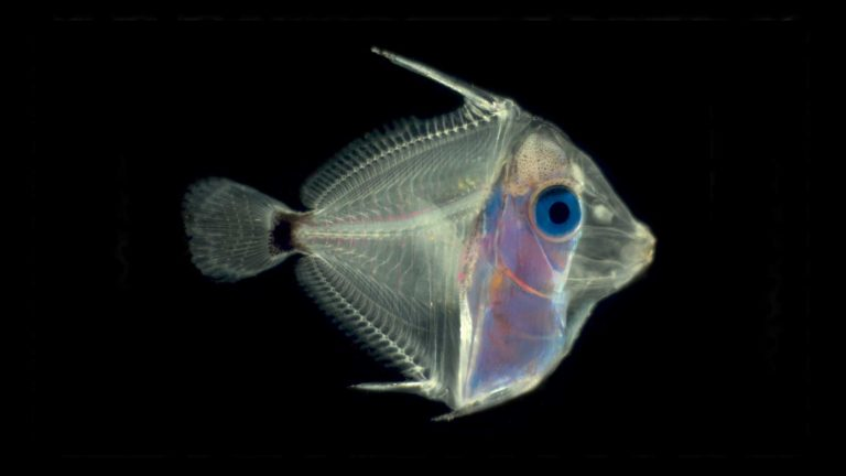 Diet Preferences of Newly Hatched Pacific Blue Tang, aracanthurus hepatus