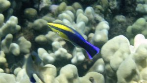 hawaiian-wrasse