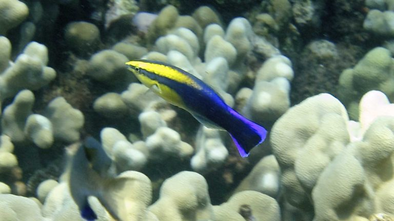 Successful Aquaculture of the Hawaiian Cleaner Wrasse, Labroides phthirophagus
