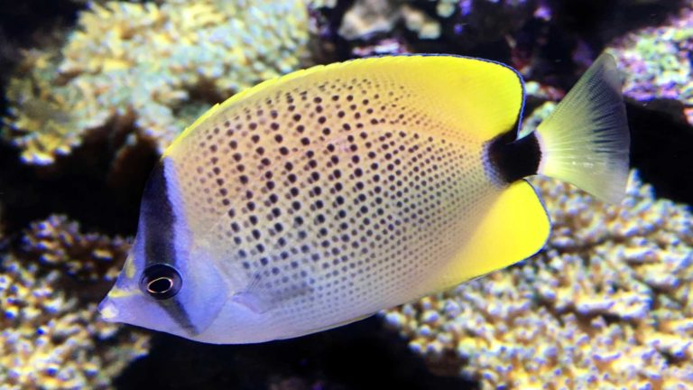 Video of Milletseed Butterflyfish, Chaetodon miliaris