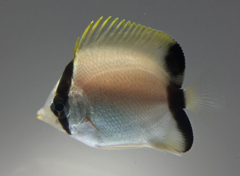 Read more about the article UF/IFAS IRREC Successfully Aquacultures the Reef Butterflyfish, Chaetodon sedentarius