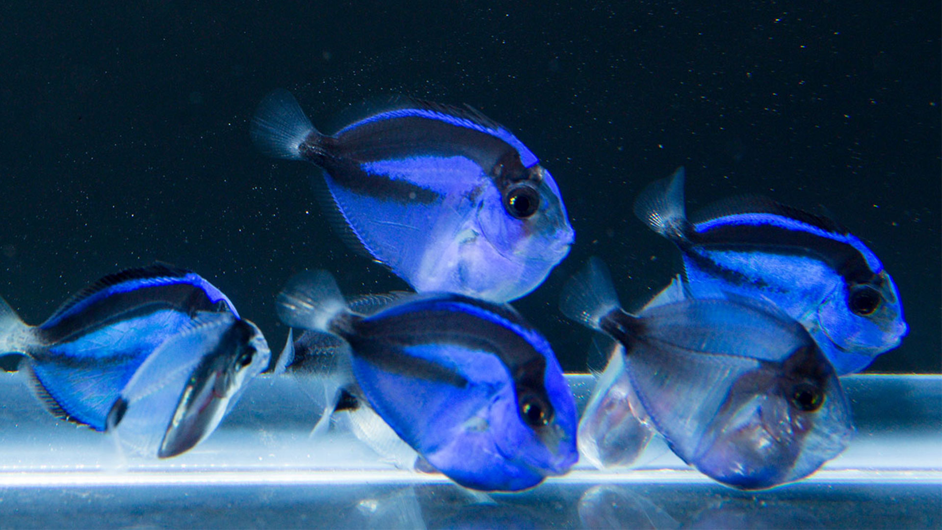 pacific blue tang paracanthurus hepatus rising tide conservation