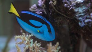 PACIFIC BLUE TANG | Paracanthurus hepatus