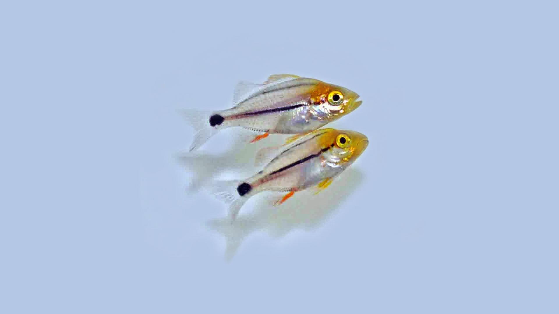 porkfish2