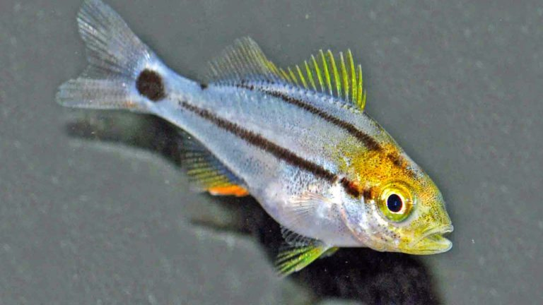 Read more about the article Commercially Available Porkfish