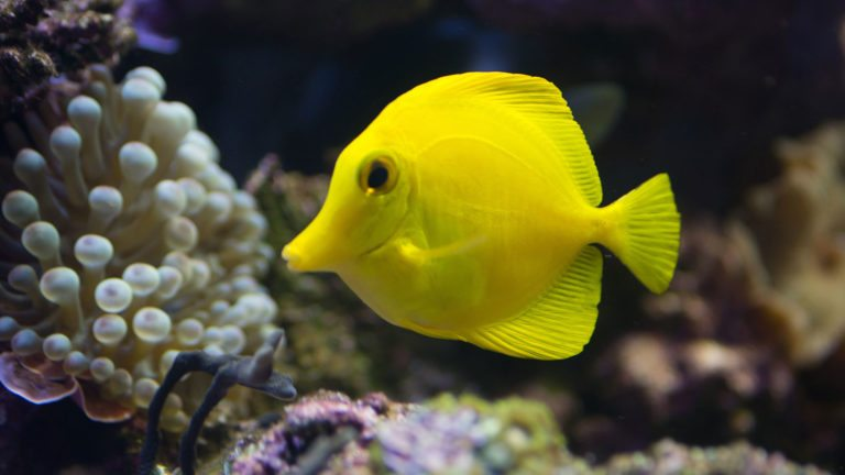 YELLOW TANG | Zebrasoma flavescens