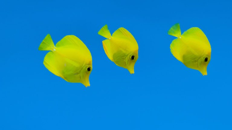 Yellow Tang Research at the OI – Making Exciting Progress