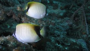 Successful Aquaculture of the Reef Butterflyfish, Chaetodon sedentarius