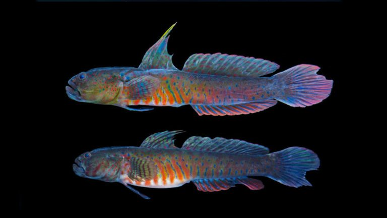 Read more about the article CRESTED OYSTER GOBY | Cryptocentroides gobiodes