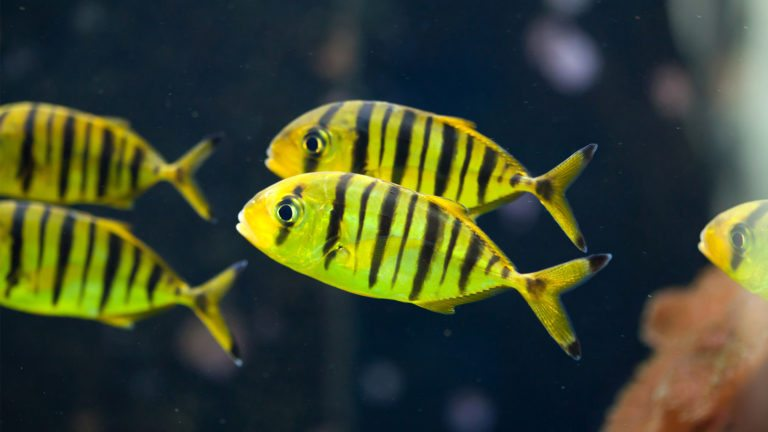 GOLDEN TREVALLY | Gnathanodon speciosus
