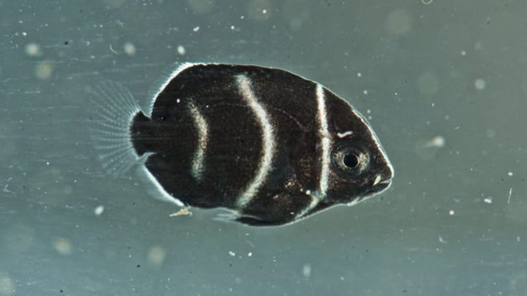 Captive bred Koran angelfish at the University of Florida