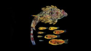 Success with a model species – the ocellated dragonet