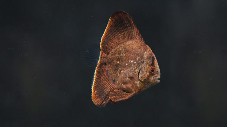 ORBIC BATFISH | Platax orbicularis