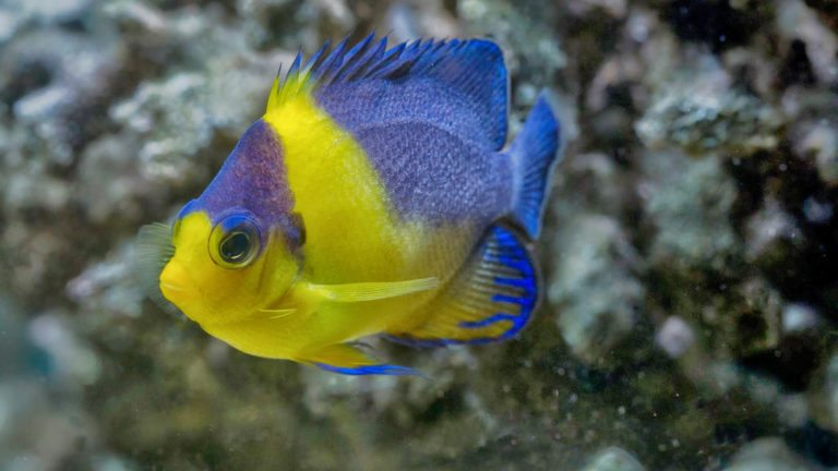 PURPLE MASKED ANGELFISH | Centropyge venustus