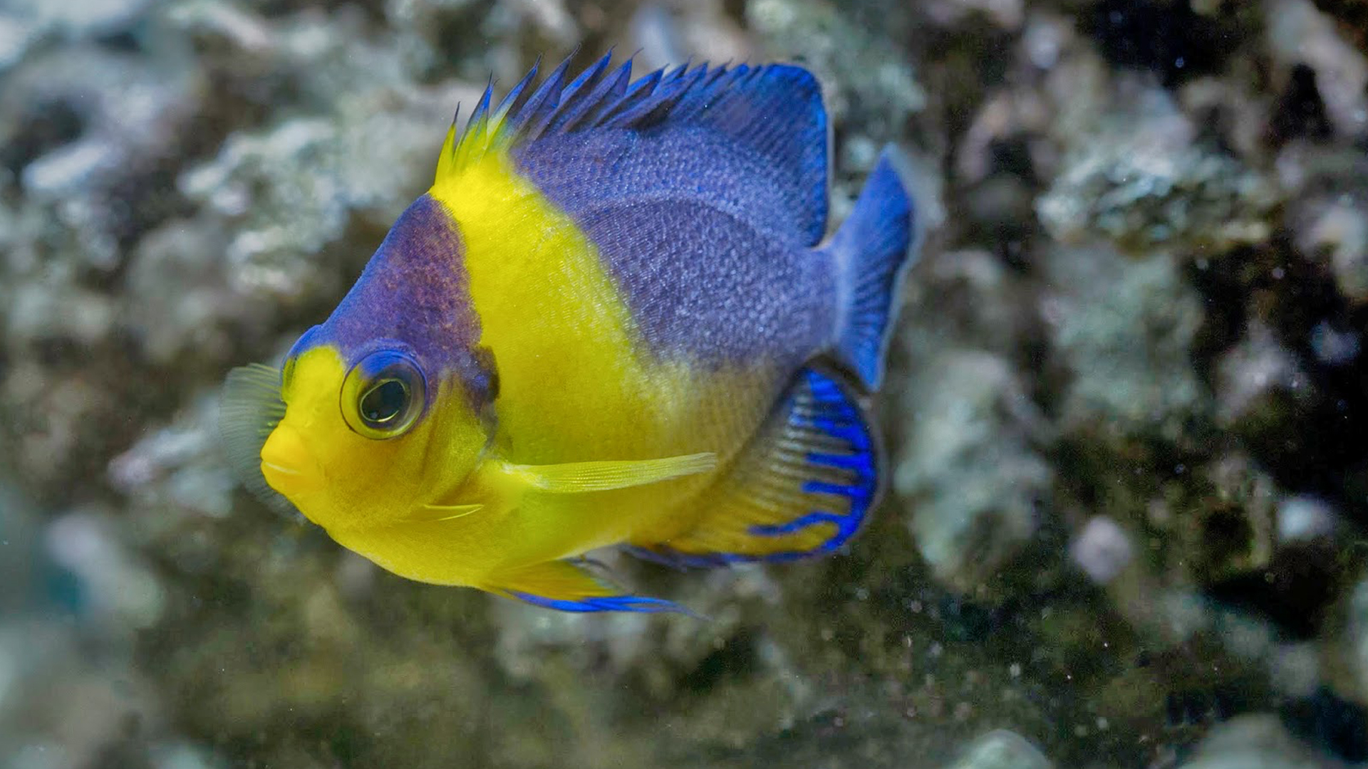 how to breed angelfish in fish with attitude