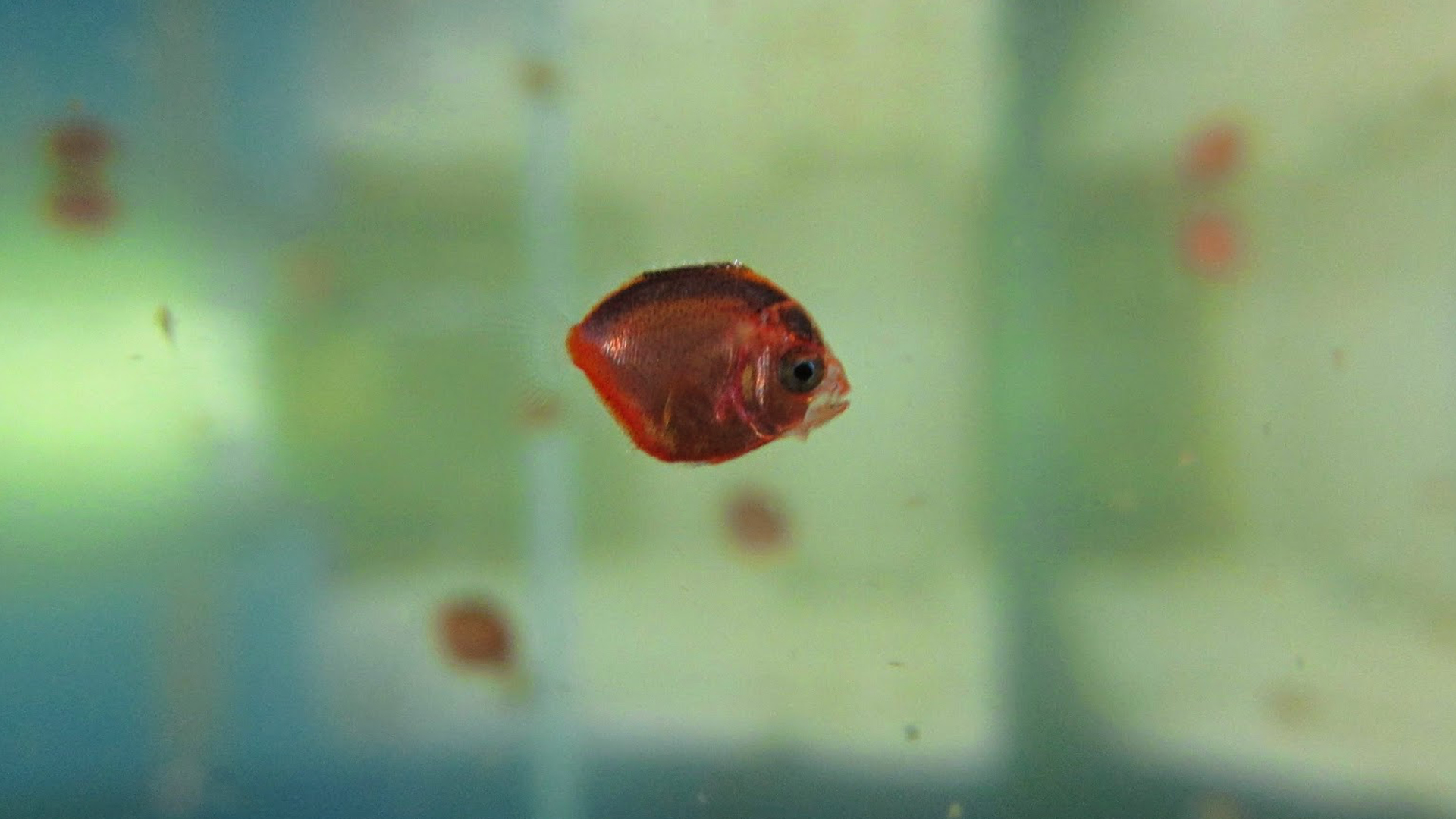 25 day post hatch Purple Masked Angelfish larva.