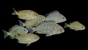 Captive bred seabream and grunts returned to the Florida Aquarium
