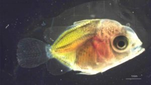 Milletseed Butterflyfish Larvae Update