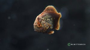 Orbic Batfish reach metamorphosis