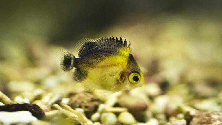 Larval Rearing of the Purple Mask Angelfish