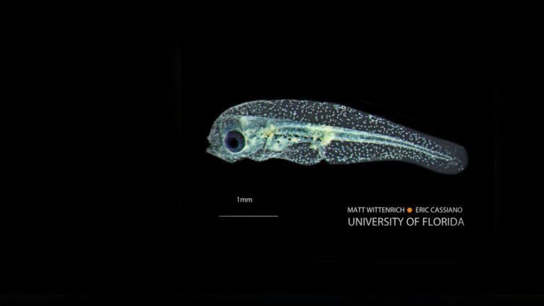 Yellow Tang larvae and fine-tuning of molecular identification