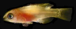 Update on Cuban Hogfish, Bodianus pulchellus at UF/IFAS IRREC
