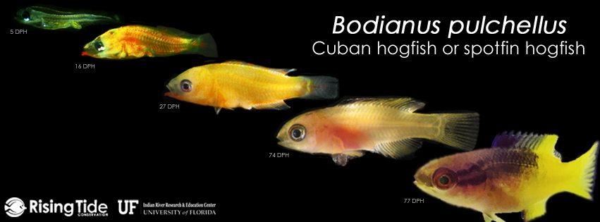 uf ifas irrec successfully aquacultures the cuban hogfish bodianus