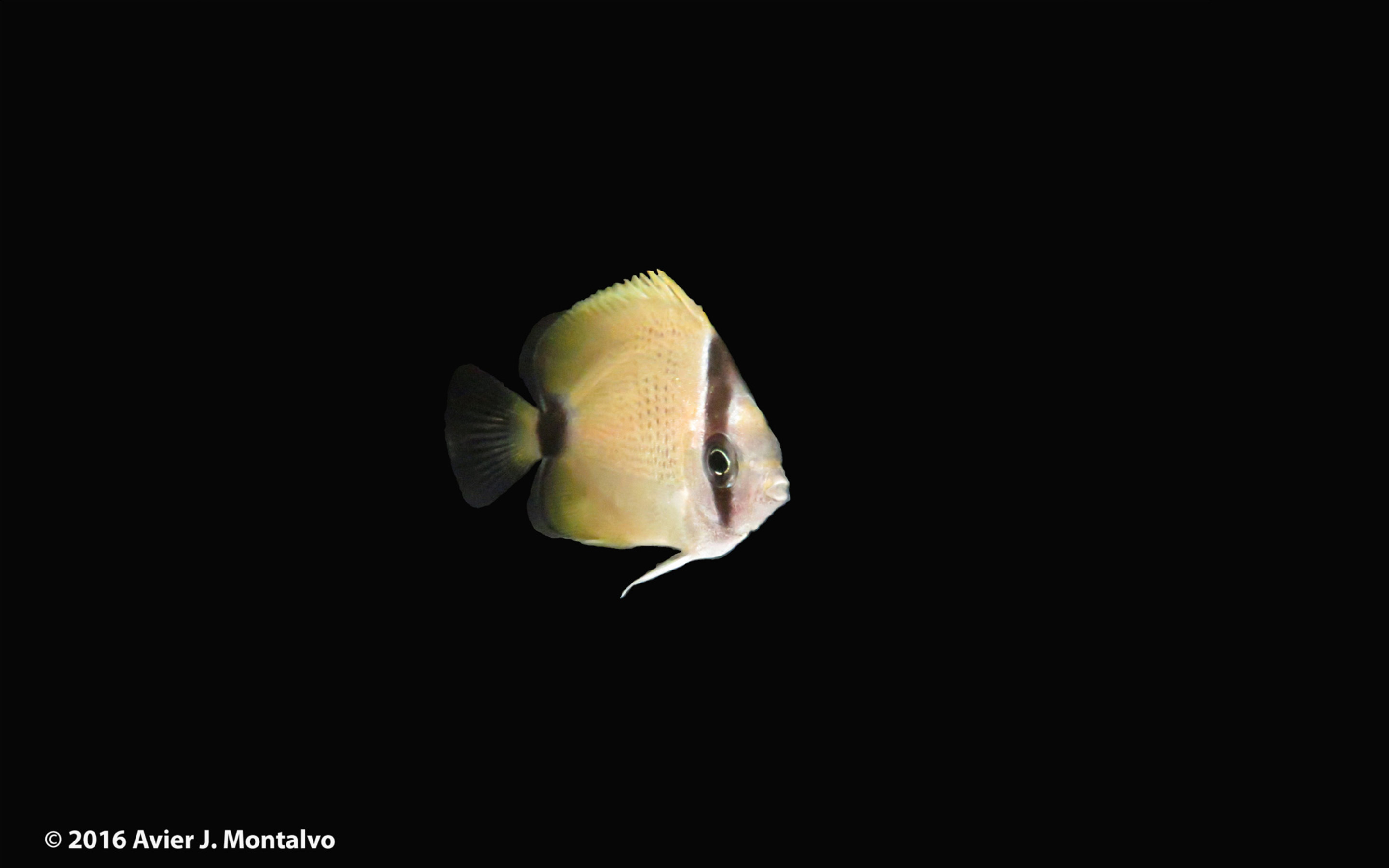 milletseed butterflyfish chaetodon miliaris rising tide conservation