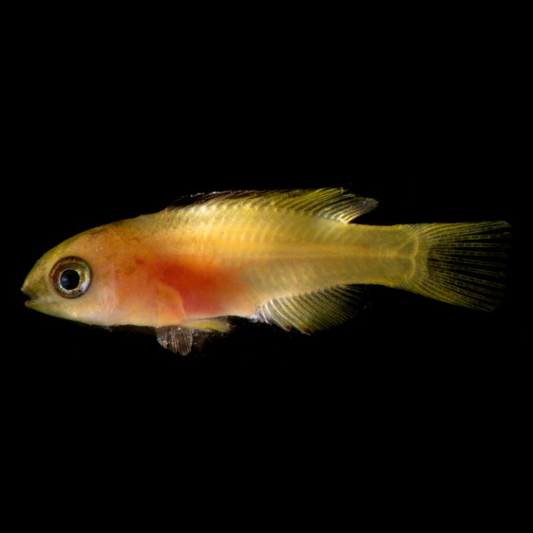 Cuban Hogfish, Bodianus pulchellus, Update