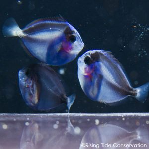 Read more about the article UF/IFAS TAL Successfully Closes the Pacific Blue Tang, Paracanthurus hepatus, Life Cycle!