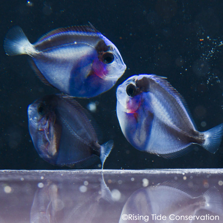 UF/IFAS TAL Successfully Closes the Pacific Blue Tang, Paracanthurus hepatus, Life Cycle!