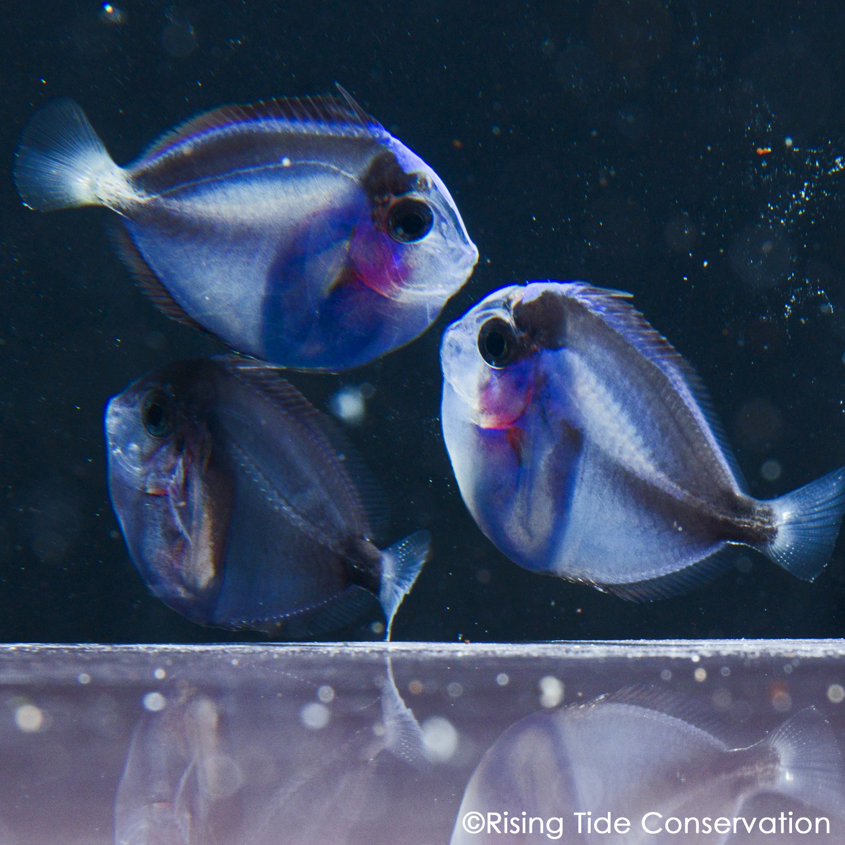 aquacultured fish rising tide conservation