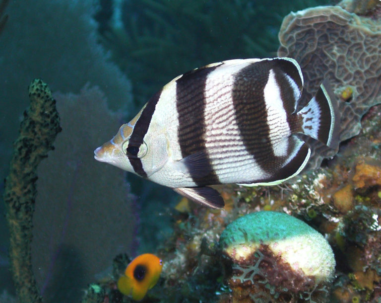 Successful Aquaculture of the Banded Butterflyfish, Chaetodon striatus!