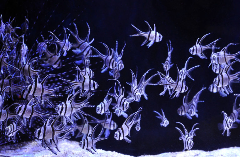 Banggai Cardinalfish, Pterapogon kauderni, Aquaculture Pledge