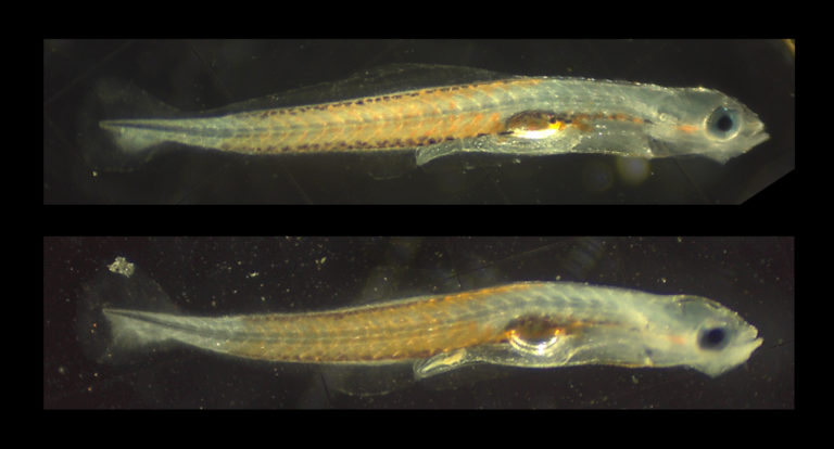 UF/IFAS TAL Making Advances in Fire Goby, Nemeteleotris magnifica, Aquaculture