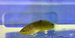 UF/IFAS TAL Continues to Advance Aquaculture Protocols for Melanurus Wrasse, Halichoeres melanurus