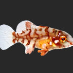 Maximus Hogfish, Lachnolaimus Maximus, Successfully Aquacultured by UF/IFAS Indian River Research & Education Center