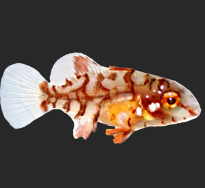 Read more about the article Maximus Hogfish, Lachnolaimus Maximus, Successfully Aquacultured by UF/IFAS Indian River Research & Education Center