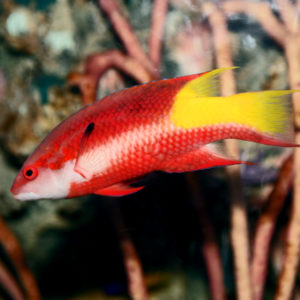 Read more about the article CUBAN HOGFISH, BODIANUS PULCHELLUS   UF/IFAS IRREC