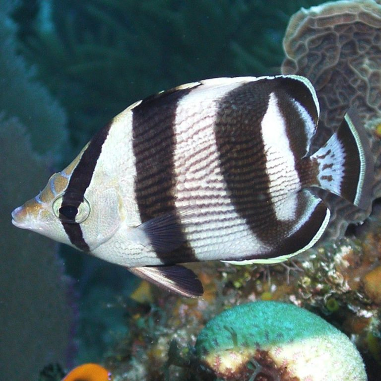Read more about the article BANDED BUTTERFLYFISH, CHAETODON STRIATUS   UF/IFAS IRREC