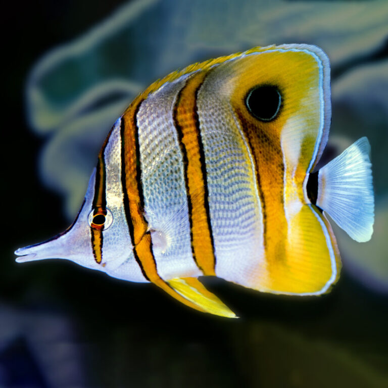 Read more about the article COPPERBAND BUTTERFLYFISH, CHELMON ROSTRATUS | UF/IFAS IRREC