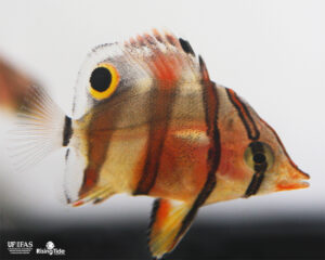 UF/IFAS IRREC Successfully Aquacultures the Copperband Butterflyfish,  Chelmon rostratus!
